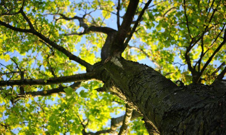 a tree seen from below