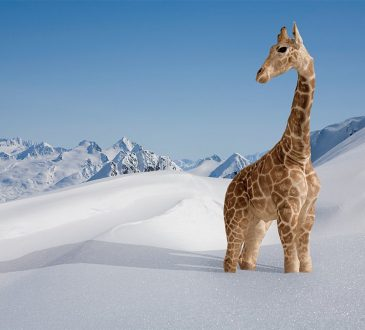 giraffe standing in the snow