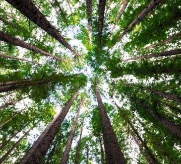 looking up at trees from forest floor