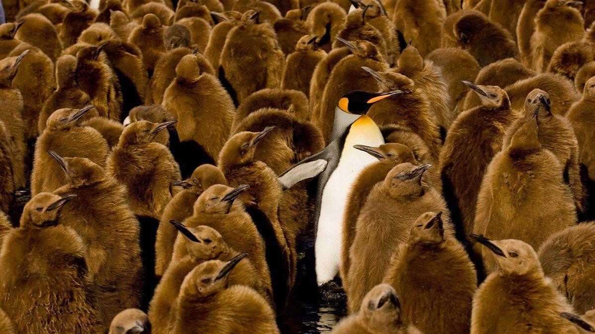 adult emperor penguin among fuzzy brown baby penguins