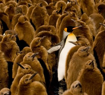 adult emperor penguin among fuzzy brown baby penguins