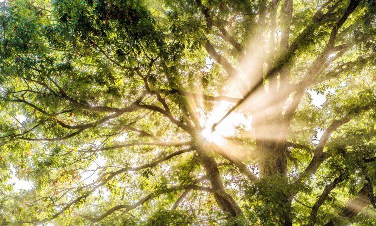 Closeup of sunburst sun rays through leaves of large green tree