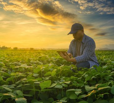 Farmer using smartphone in mung bean field