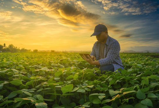 Farmer using smartphone in mung bean field