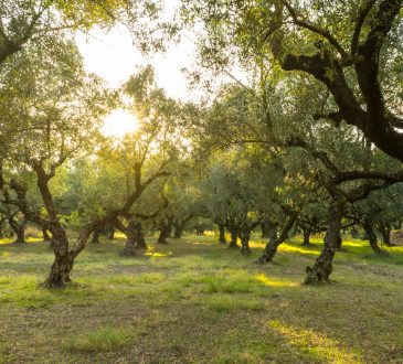 sunlight shining in grove of olive trees