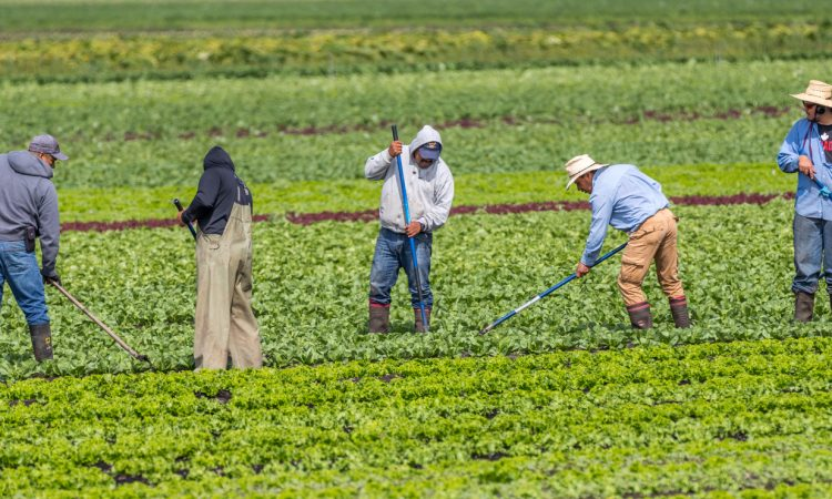 migrant farm workers hoe weeds in a farm field of produce in BC.