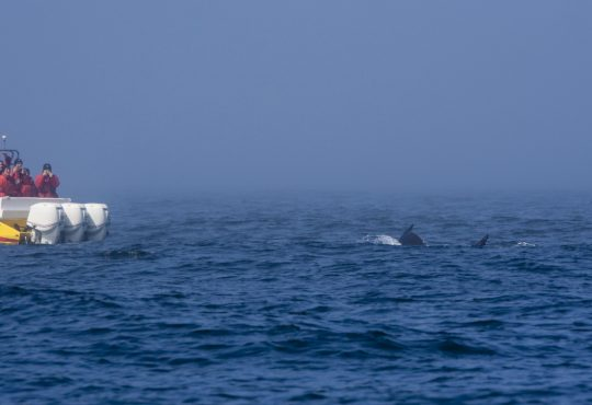 People in a speedboat on a Whale Watching Tour are photographing a Humpback Whale near Victoria, Canada