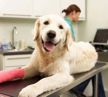 Female Veterinary Surgeon Treating Dog With Injured Leg