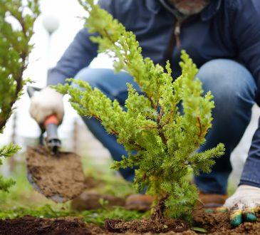Gardener planting juniper plants in the yard